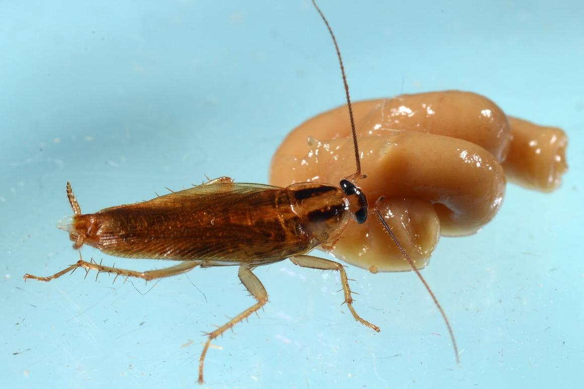 A cockroach feeds on an insecticide in the lab portion of new experiments at Purdue University