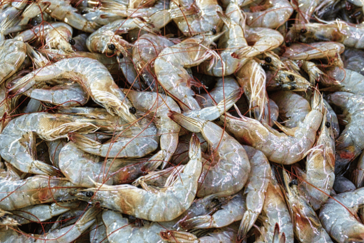 Shrimp shells are one source of chitin