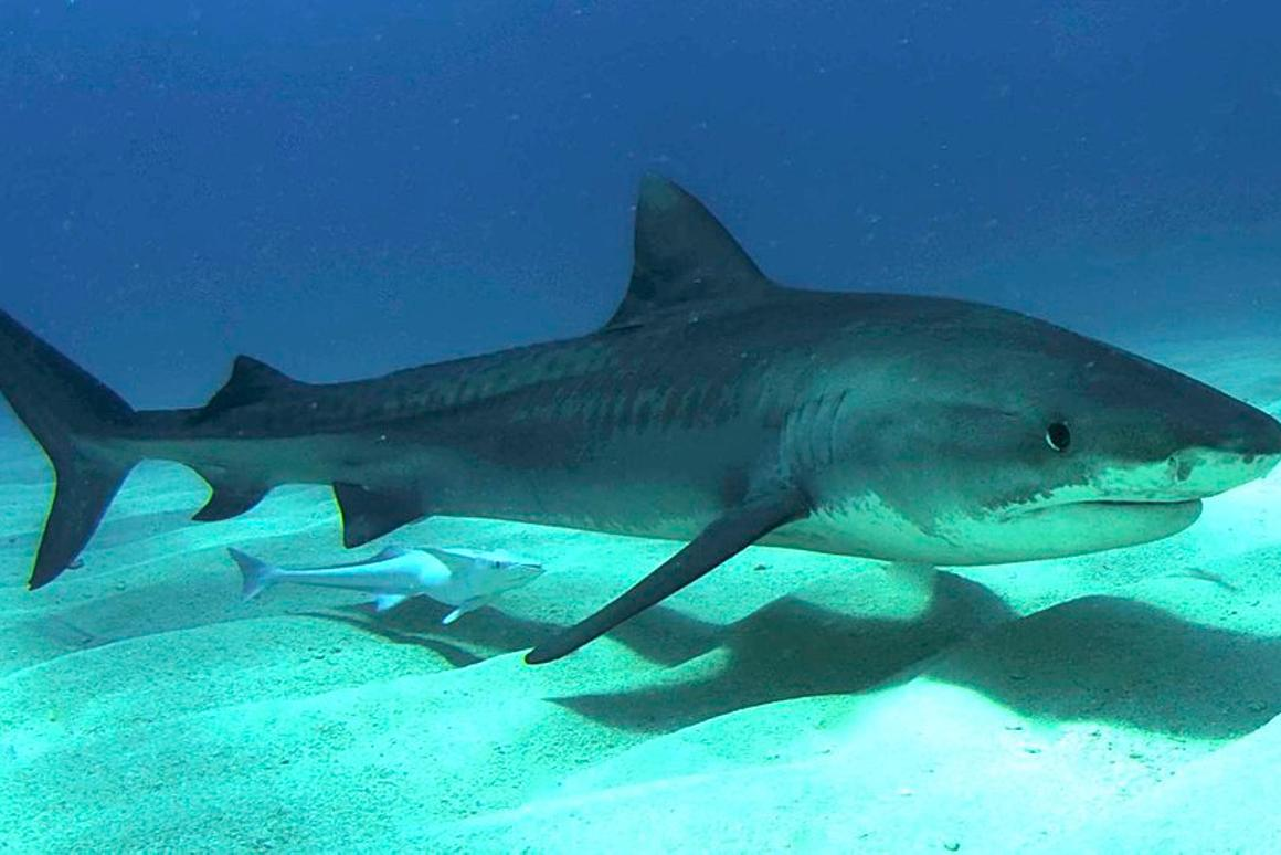 A juvenile tiger shark photographed in the Bahamas