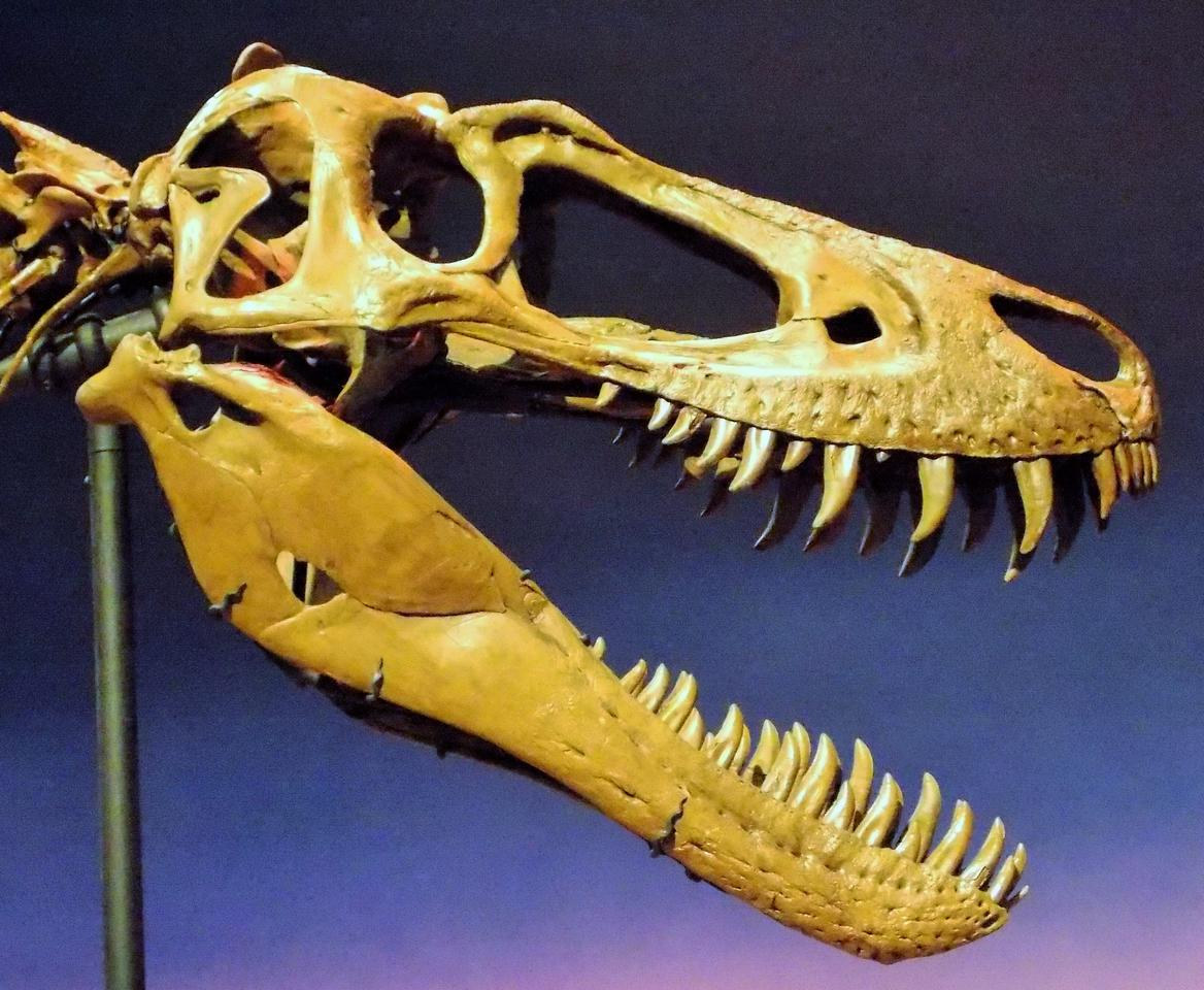 The skull of the dinosaur known as Jane, with its sharp knife-like teeth