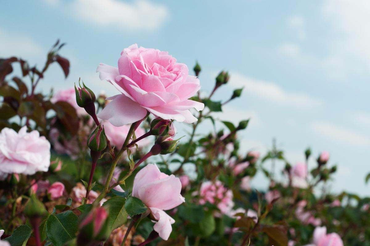 Semi-conductive polymers have allowed scientists to form electronic circuits inside a rose plant