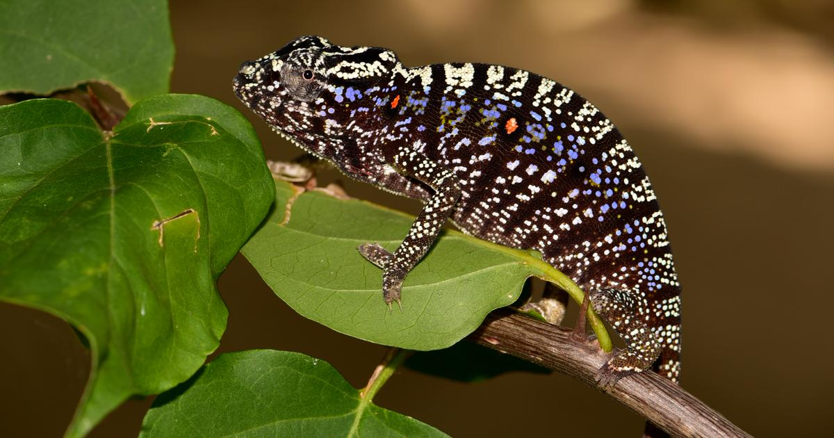 Chameleon species lost for a century rediscovered in Madagascar