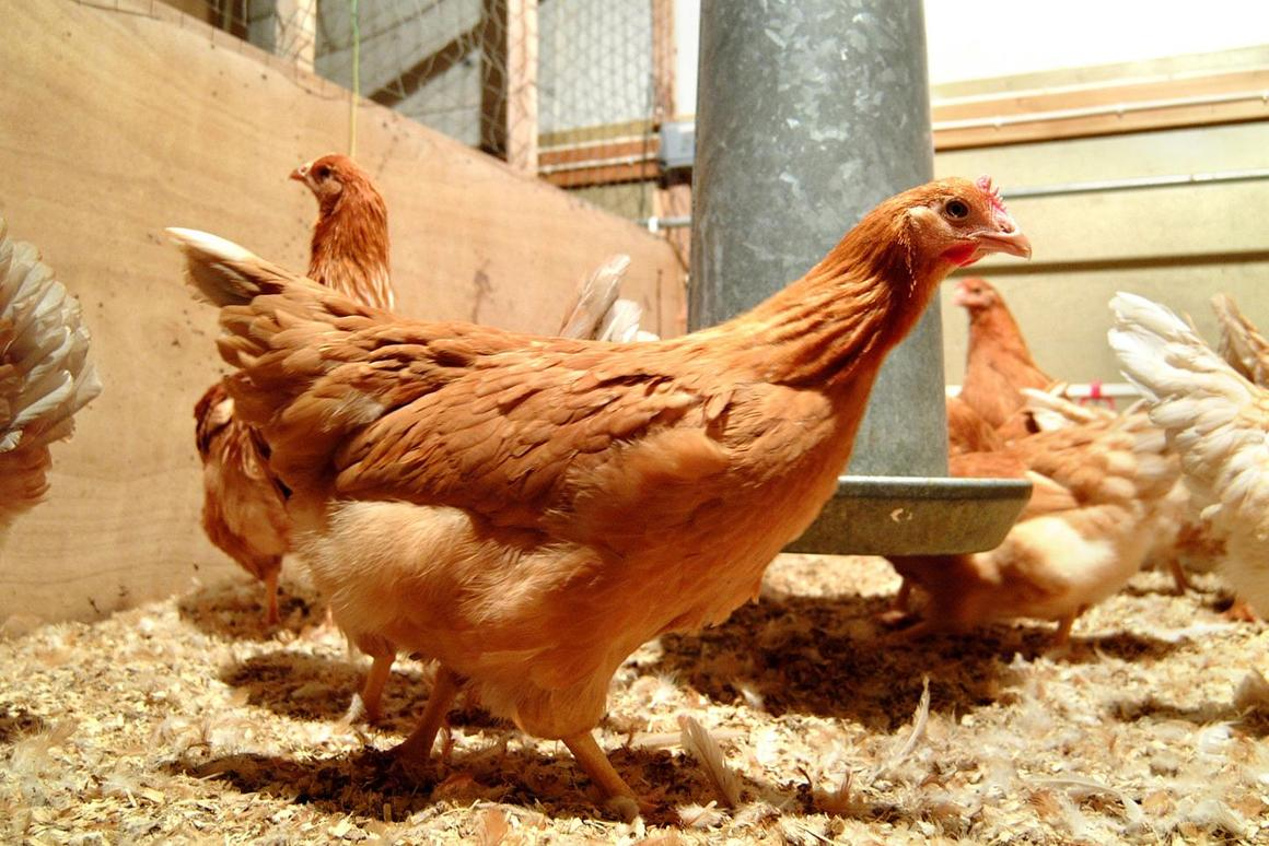 The hens have so far been used to produce two therapeutic proteins