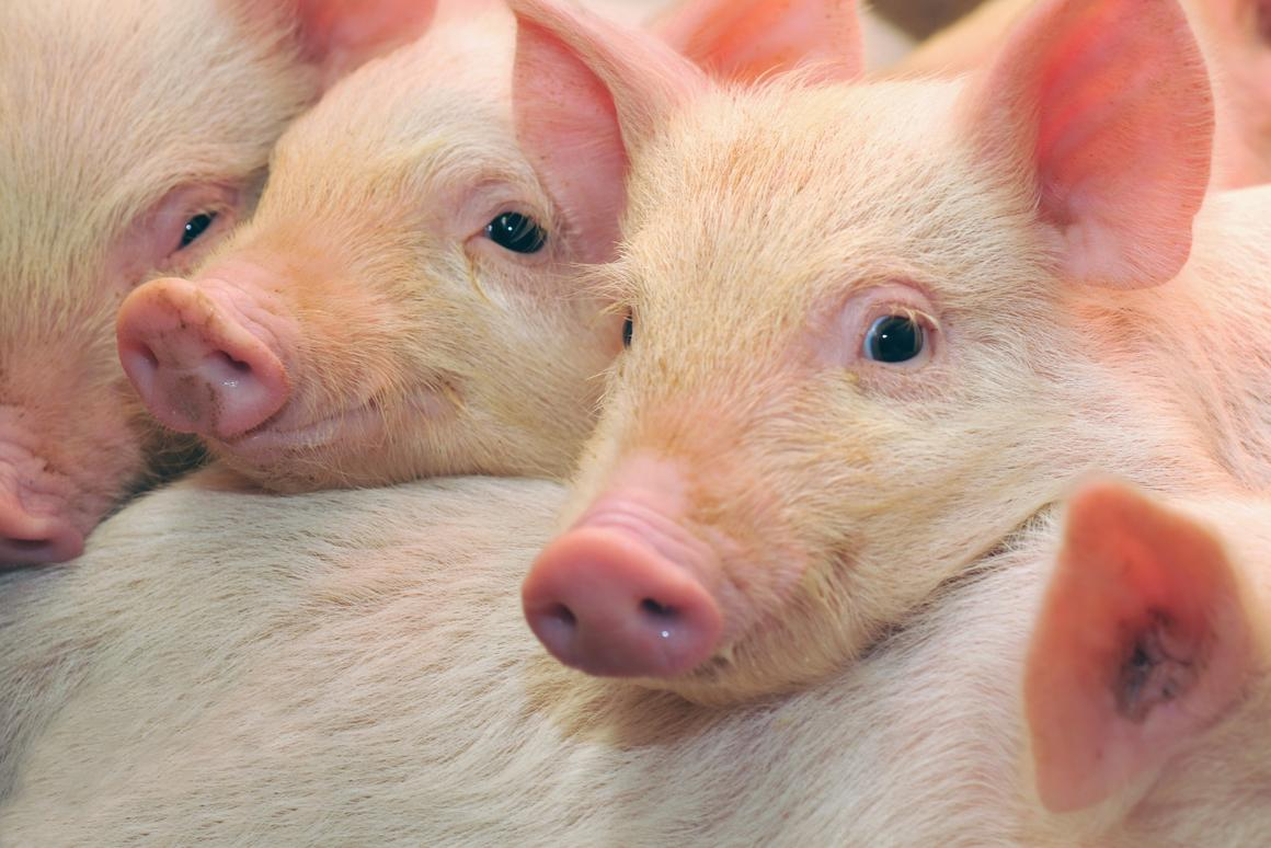 Researchers have managed to restore some brain function in pigs as long as four hours after death
