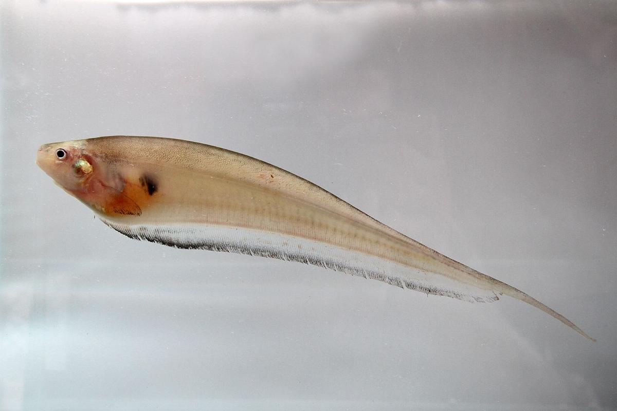 The glass knifefish, aka Eigenmannia
