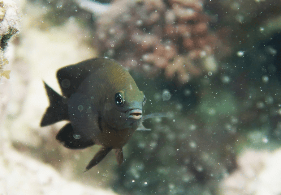 Longfin damselfish have been found to domesticate mysid shrimp