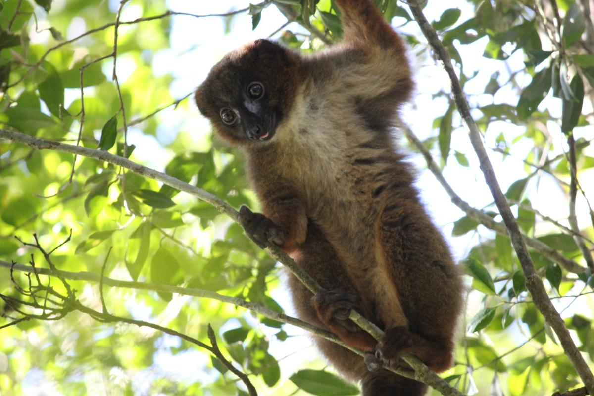 The system correctly identified more than 100 individual lemurs at an accuracy of 98.7 percent