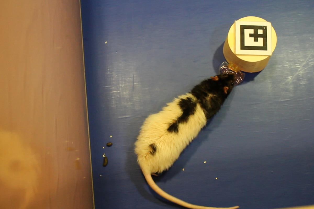 A rat interacts with a small robot, which represents a remotely-located human
