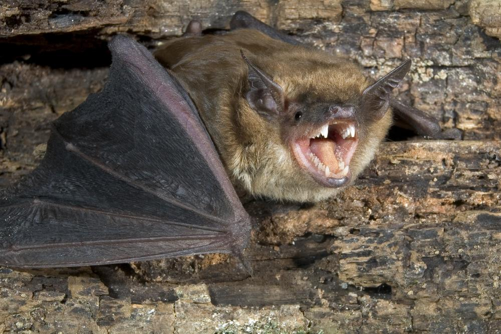 iBatsID is a free online tool that automatically identifies bats based on their calls (Photo: Shutterstock)