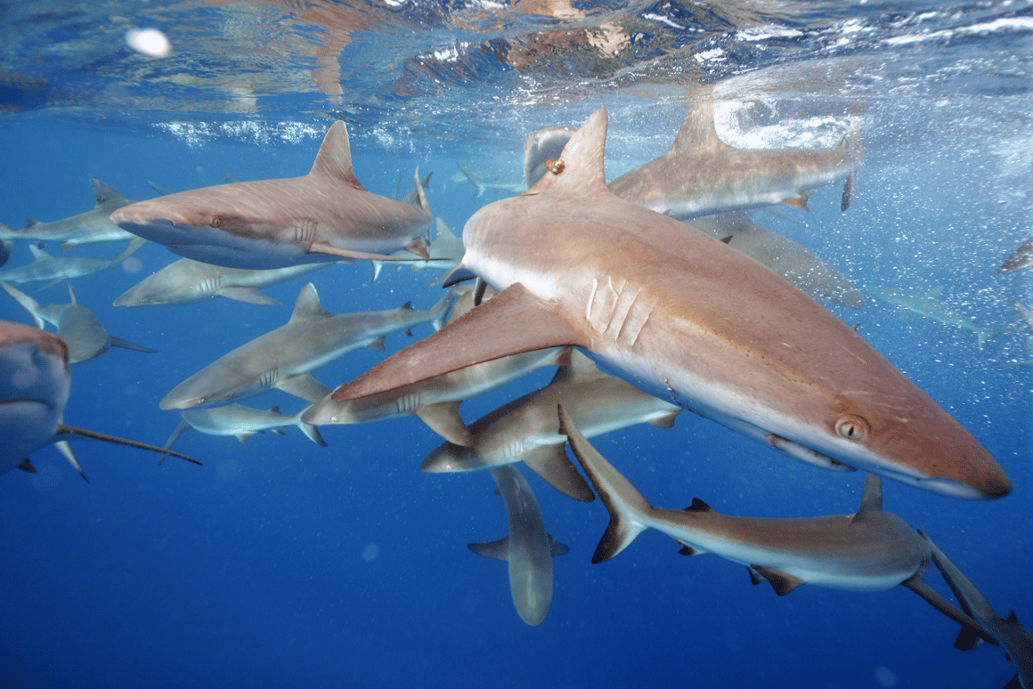 The grey reef shark, a focus of the Stanford University study, is one of the most common reef shark species found in the Pacific Ocean