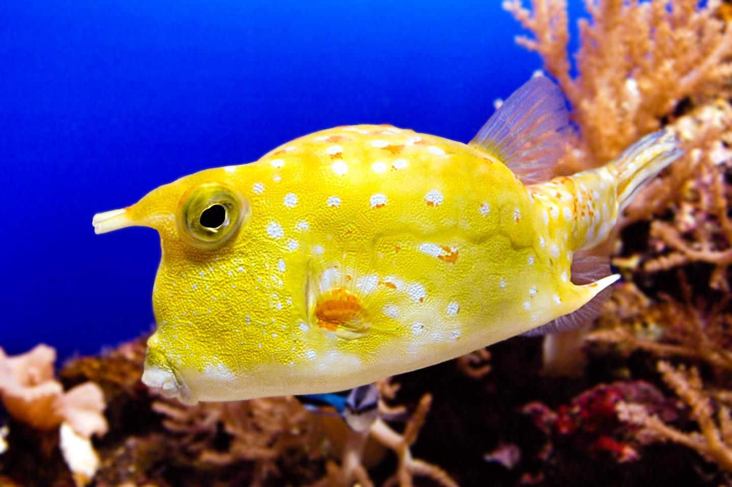 Although this creature is called a cowfish, it is not the result of the new research (Photo: Shutterstock)