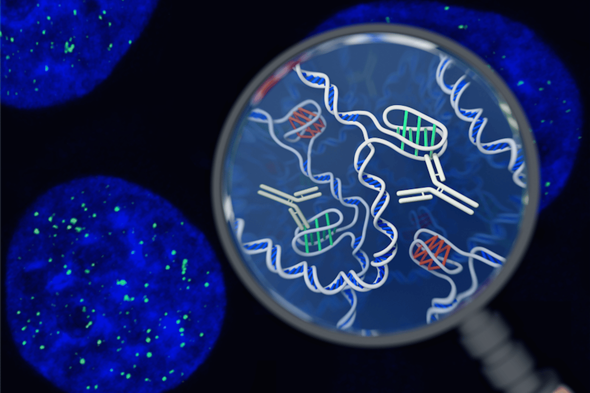 Australian scientists have discovered a new DNA structure – a twistedknot known as an i-motif – inside living cells for the first time