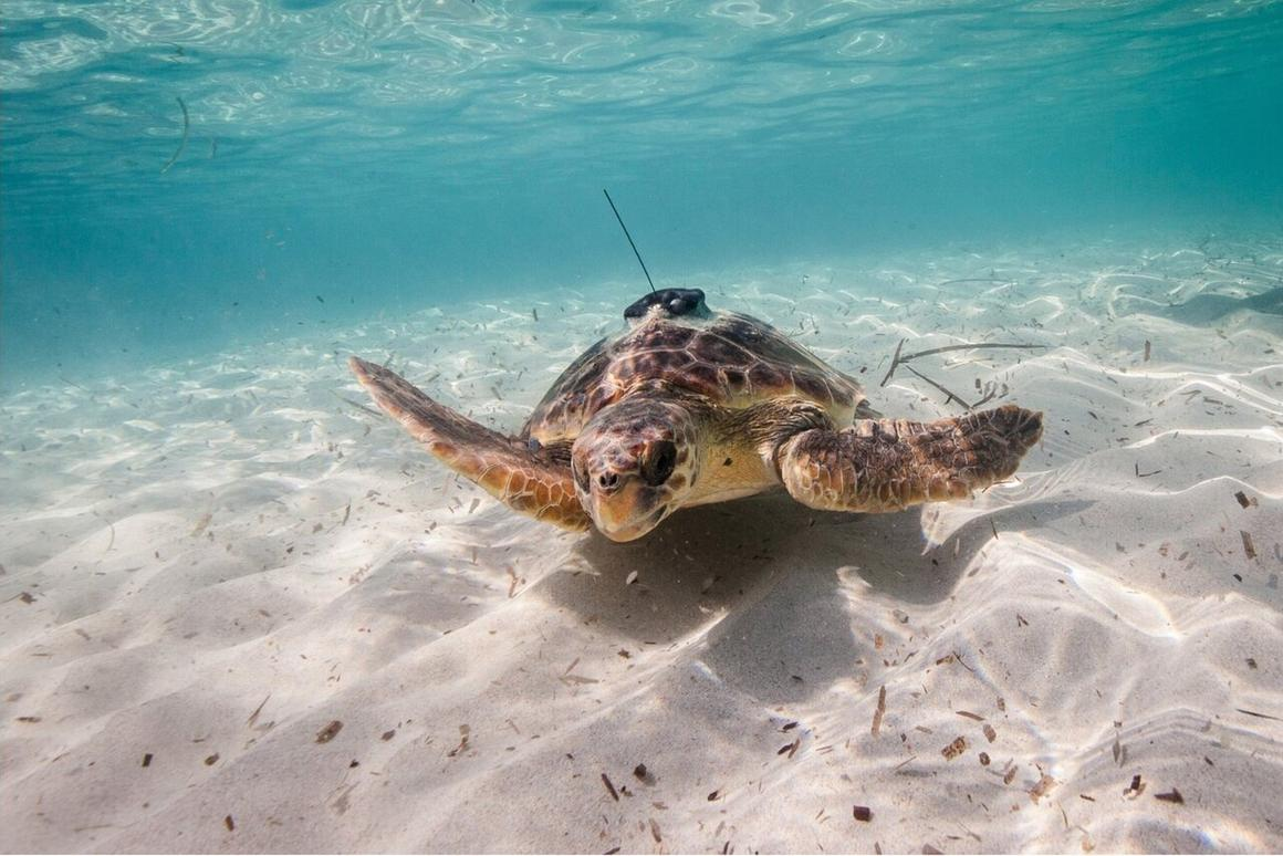 Sea turtle equipped with an animal-borne sensor