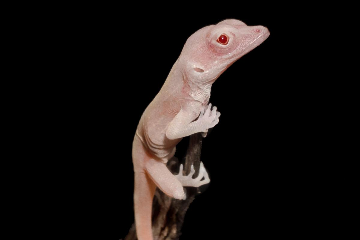 One of the albino lizard hatchlings, one of the first reptiles to have its genes edited through CRISPR