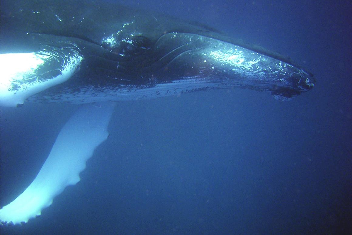 A new algorithmic system that automatically identifies underwater sounds in real time has been developed to ascertain if whales are affected by undersea noise pollution (Photo: NOAA)