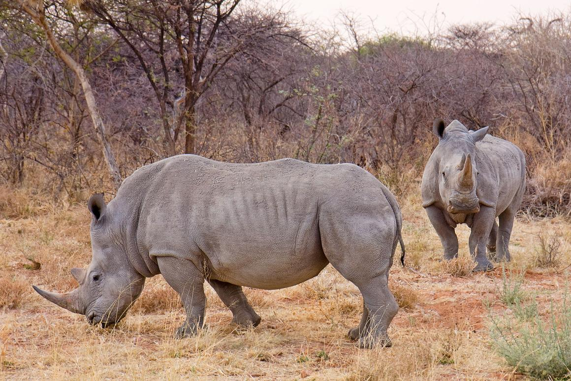 White rhino numbers have bounced back to more than 20,000 individuals compared with fewer than 100 in the early 20th Century