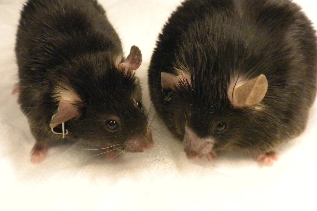 The obese mouse on the right was fed a high-fat diet. The mouse on the left was fed the same diet but is a normal weight after receiving amlexanox (Photo: Shannon Reilly)