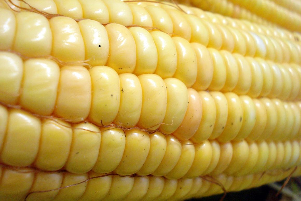The new technique could allow corn to be grown in caves or on space colonies (Photo: Ashlyak/ml.wikipedia)