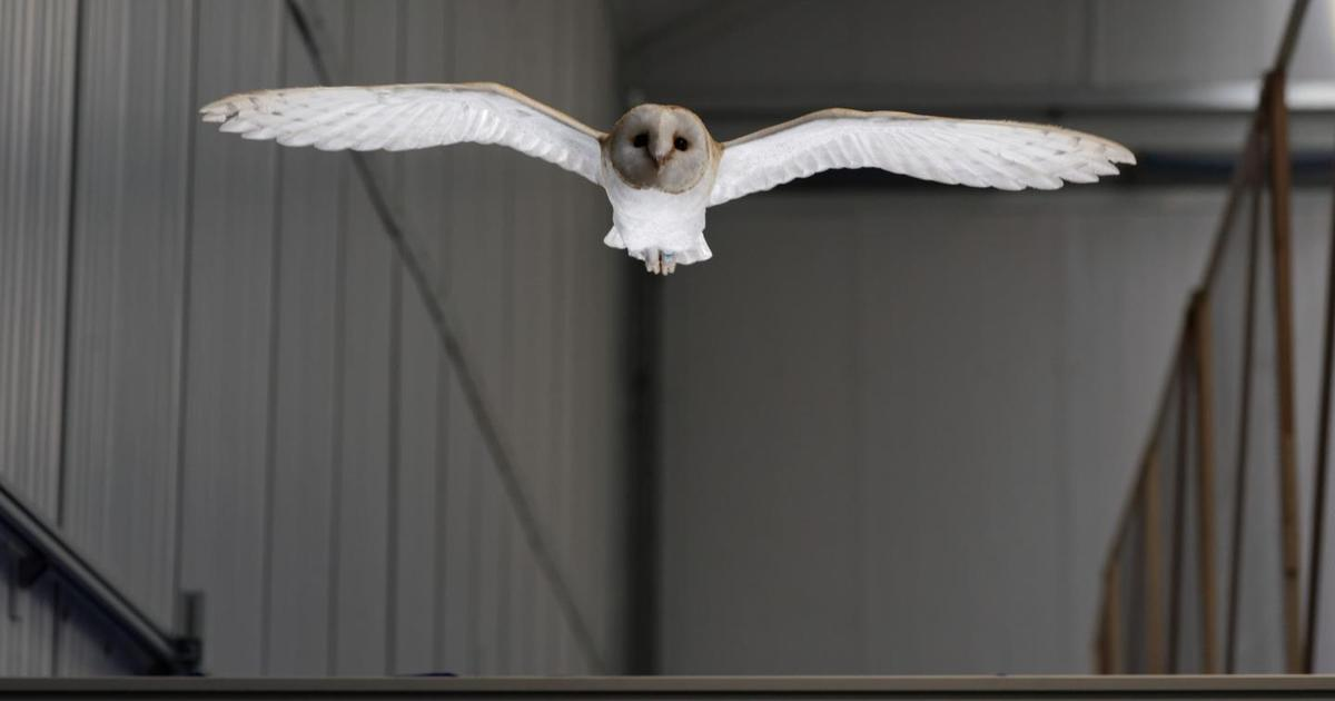 Lessons from barn owl flight could help aircraft handle strong winds