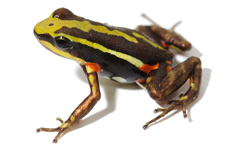 Toxins found in some frogs, such as the phantasmal poison frog, could hold important lessons for pain relief in humans