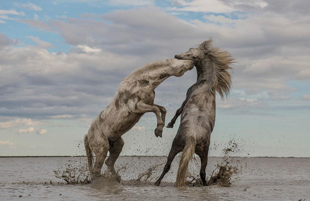 Stallions Playing: The Grand Pize winning photograph from Camille Briottet