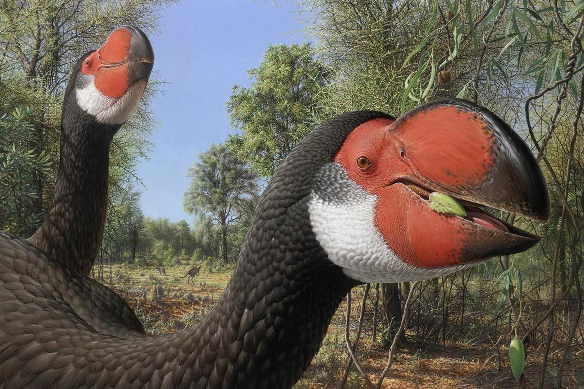 An artist's impression of Dromornis stirtoni, an extinct creature that was one of the largest birds to ever walk the Earth