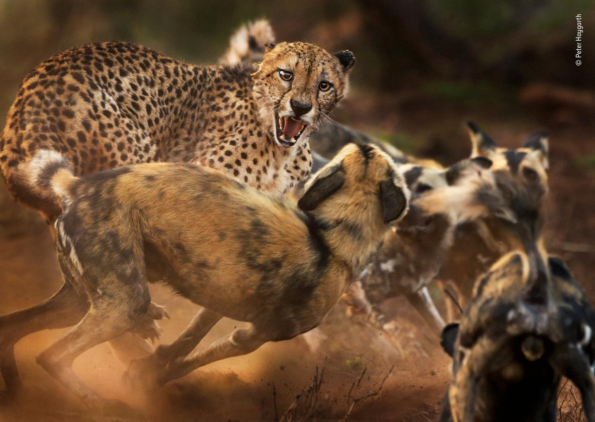 """""""Big cat and dog spat"""" by Peter Haygarth, UK. Highly Commended 2019, Behaviour: Mammals. In a rare encounter, a lone male cheetah is set upon by a pack of African wild dogs. (Both species have disappeared from much of their former ranges, with fewer than 7,000 left of each, mainly due to habitat loss and fragmentation. Both exist at low densities.) Peter had been following the dogs by vehicle as they hunted in Zimanga Private Game Reserve, KwaZulu-Natal, South Africa. A warthog had just escaped the pack when the leading dogs came across the big cat. At first, the dogs were wary, but as the rest of the 12-strong pack arrived, their confidence grew, and they began to encircle the cat, chirping with excitement. The elderly cheetah hissed and lunged back at the mob, his left ear tattered, the right one pinned back in the ruckus. As dust flew in the morning light, Peter kept his focus on the cat's face. In a few minutes the spat was over as the cheetah fled."""