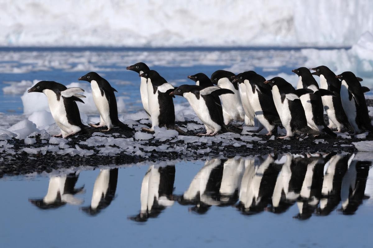 Are these Adélie penguins lining up for a gelata buffet?