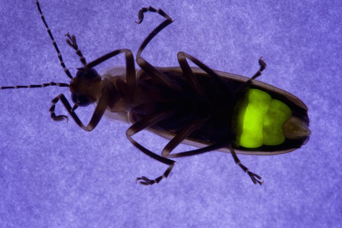 By copying microstructures on fireflies' abdomens, scientists have boosted the light extraction efficiency of LEDs
