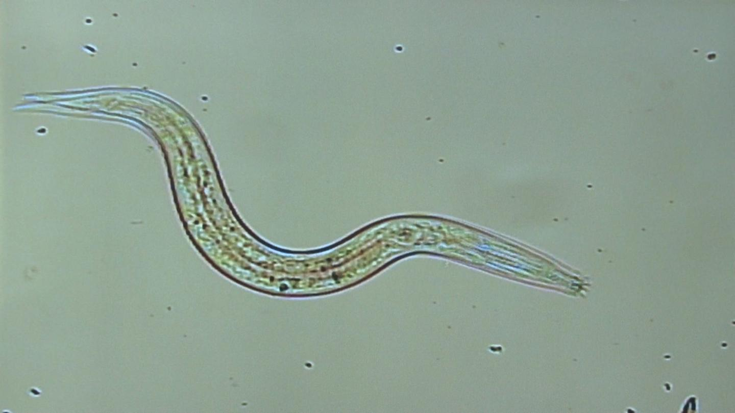 Scientists have managed to revive worms (similar to the one pictured) that were frozen in the Siberian permafrost for up to 42,000 years