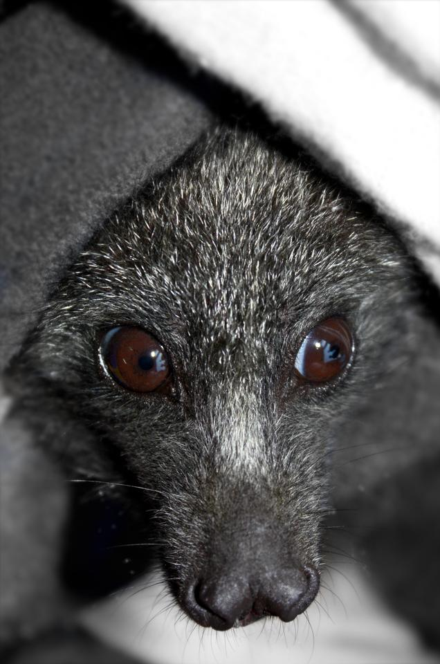 The black flying fox was one of two bat species selected by the researchers for comparative whole-genome analysis in this study