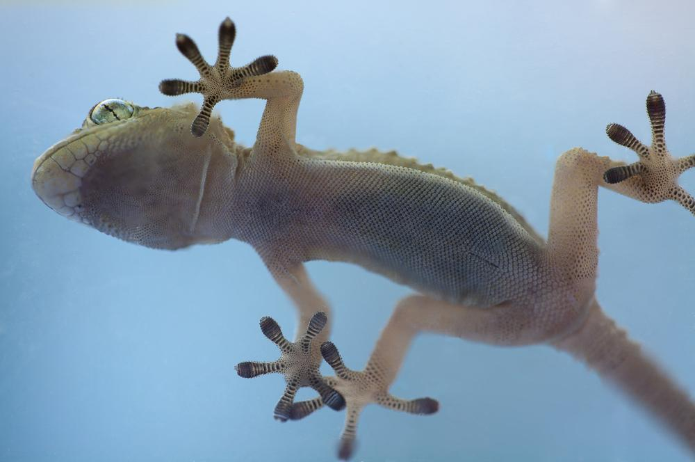 While gecko feet utilize hair-like fibers, the new material uses similar manmade microscopic pillars (Photo: Shutterstock)