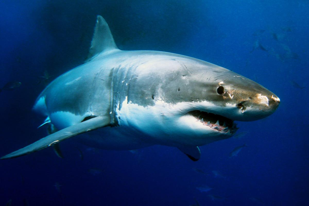 """The stereotype of a shark's dorsal fin above the surface as it hunts is probably not a very accurate picture,"" says Richard Grainger from the University of Sydney"