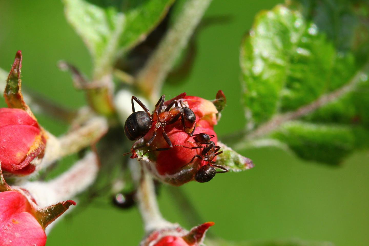 Wood ants foraging within an apple orchard