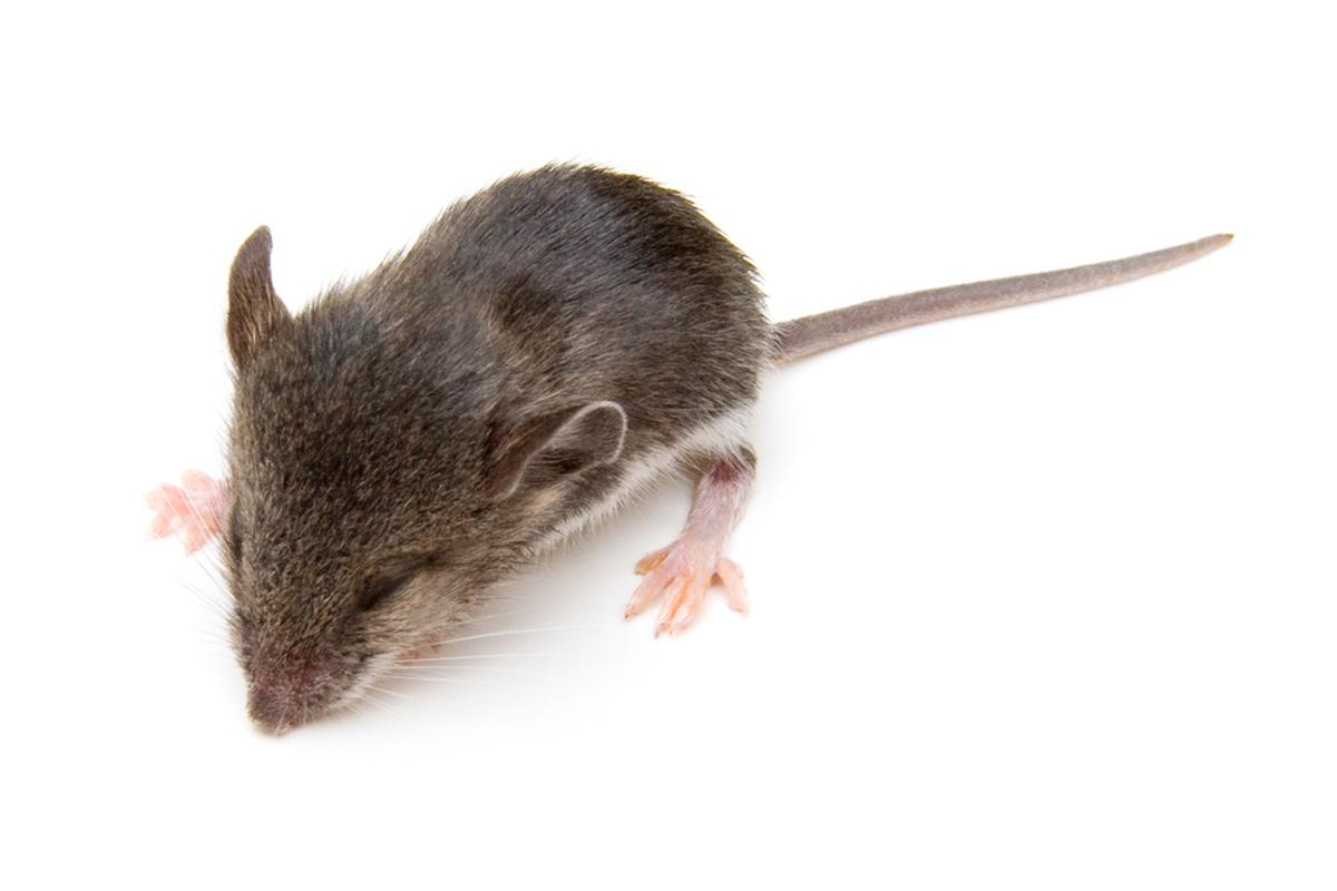 Researchers at Stanford University have successfully alleviated PTSD in sleeping mice (Photo: Melinda Fawver/Shutterstock)