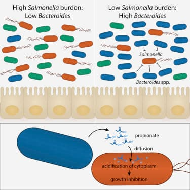 How gut bacteria reduces colonization of Salmonella