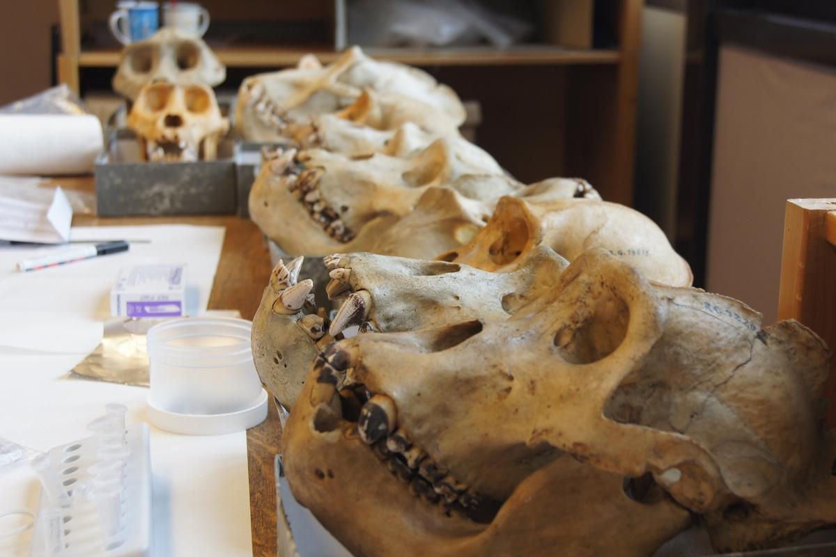 A series of gorilla skulls in a museum lab in Belgium – the dark stains on their teeth are dental plaque, which the study was investigating