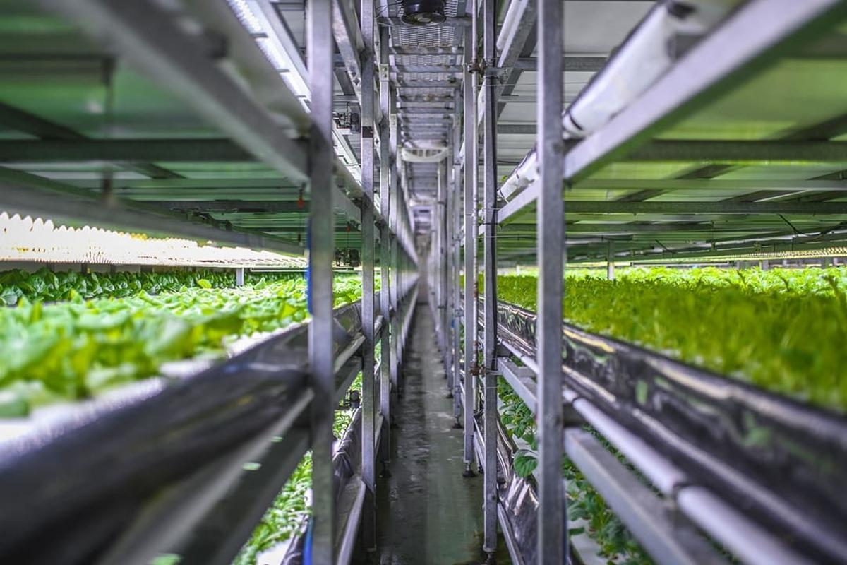 The Nordic Harvest vertical farm on the outskirts of Copenhagen in Denmark is expected to scale up production to 1,000 tonnes of salads and herbs per annum during 2021