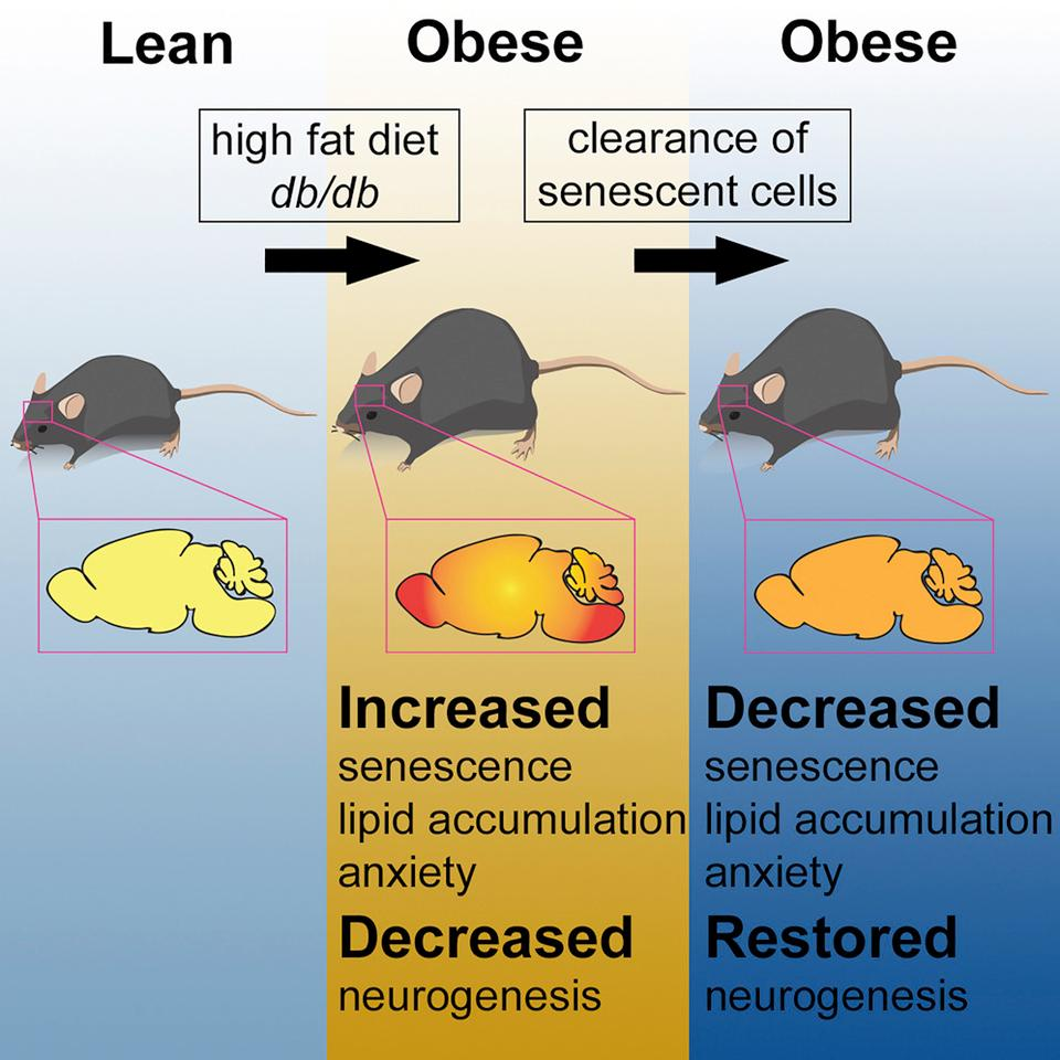A graphical abstract illustrating the stages of the new research (Credit: Cell Metabolism/CC BY 4.0)