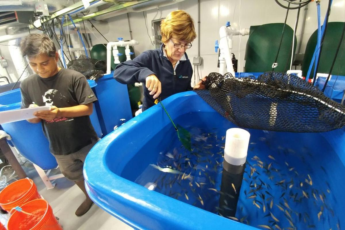 Pallab Sarker and Anne Kapuscinski (who is now at UC Santa Cruz) work with Nile tilapia