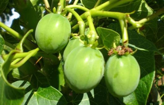 Jatropha seed pods