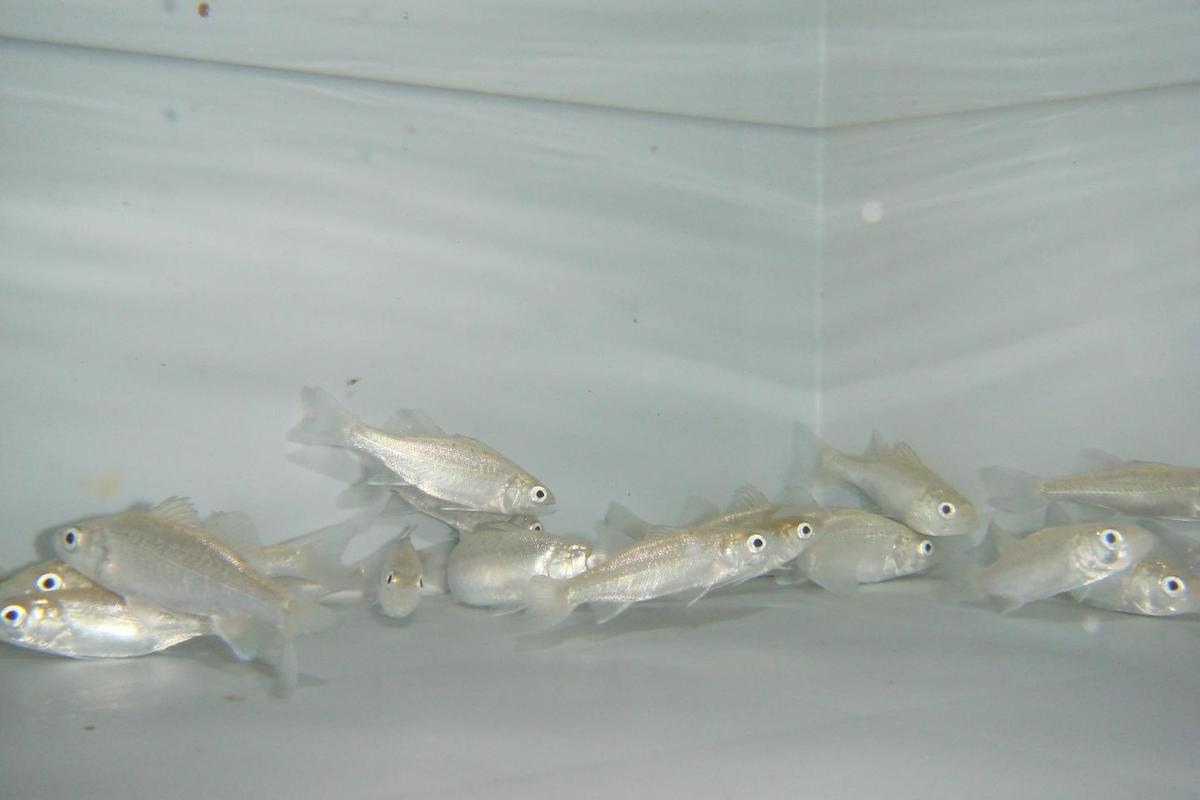 Although European sea bass were used in the study, the scientists state that the findings are applicable to other types of fish