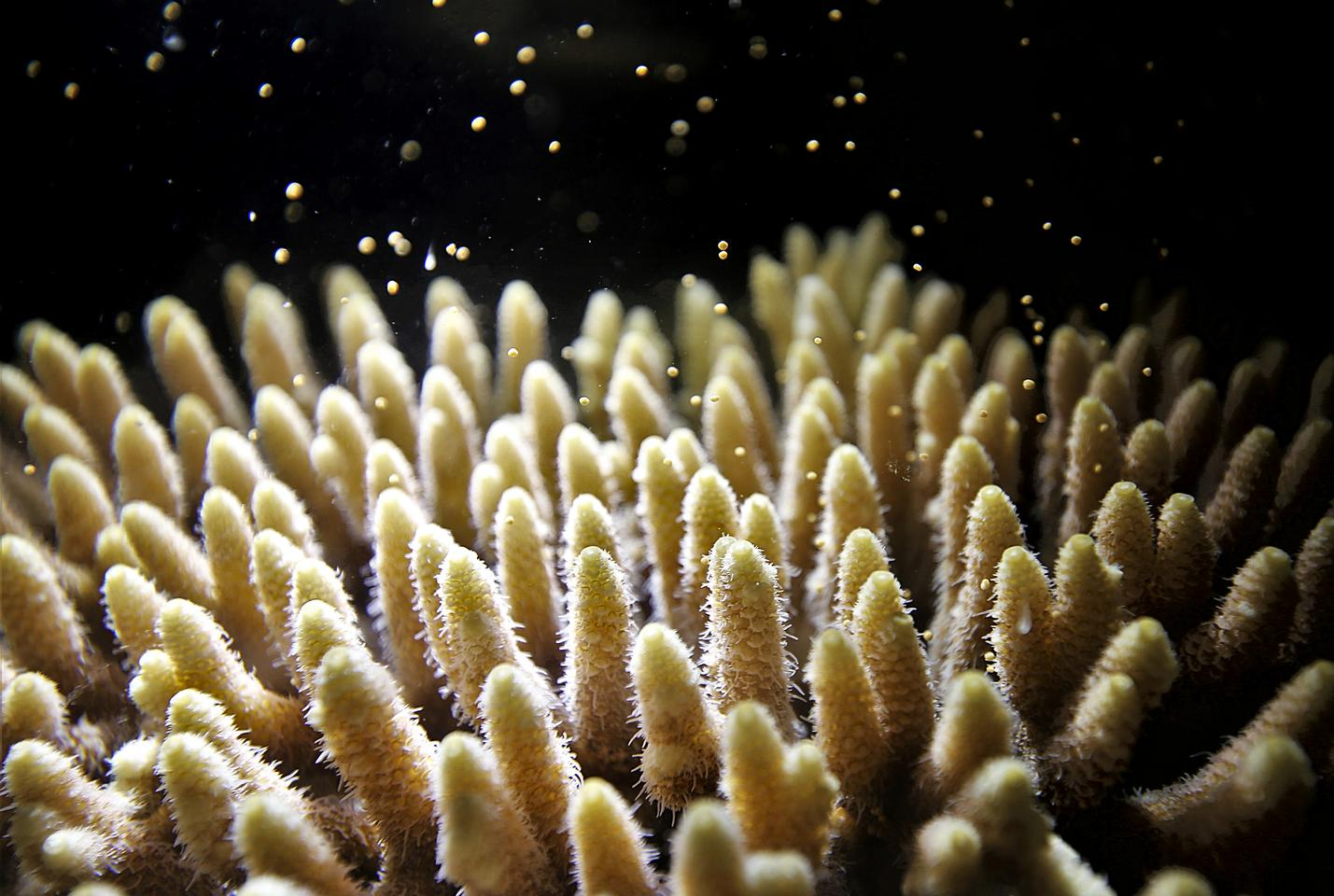 Close-up image of corals releasing sperm and eggs for cross-fertilization