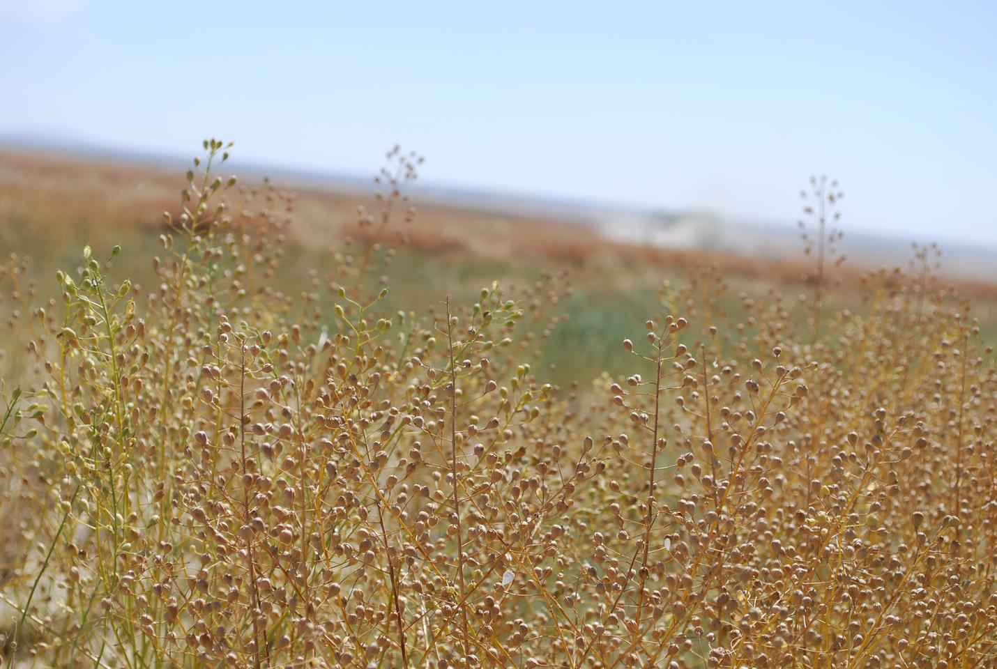 Camelina is a dedicated energy crop that grows in rotation with wheat avoiding competition with food crops