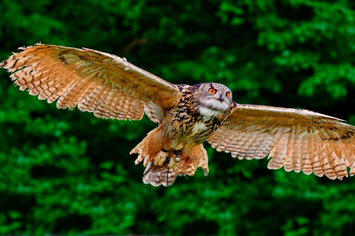 The secret to owls' quiet flight lies in a layer of down on their wings