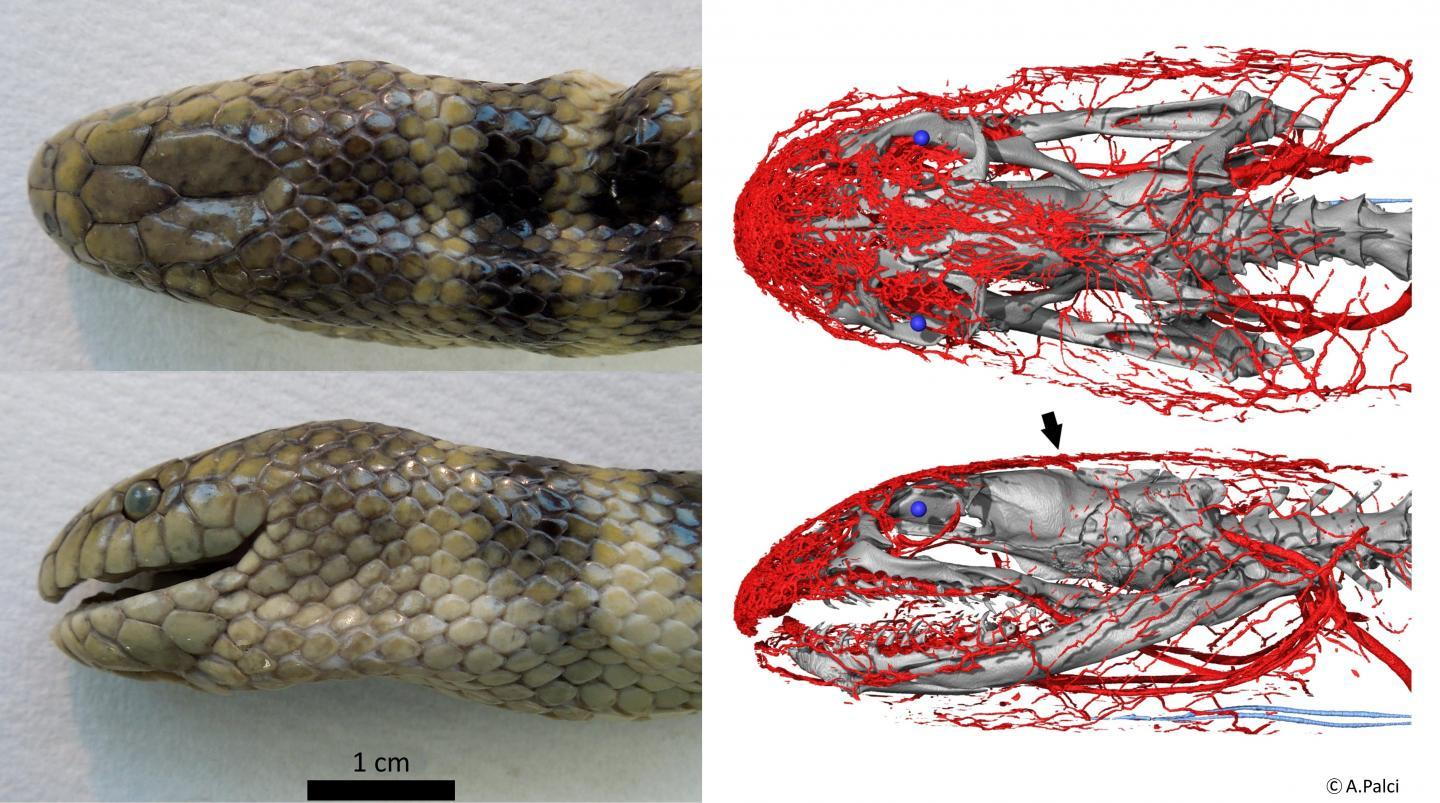 Two views of one of the scanned snakes