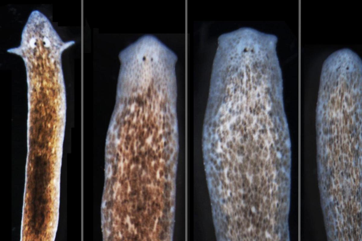 The research showed that by interrupting protein channels between cells, you can induce flatworms to grow the heads of related species