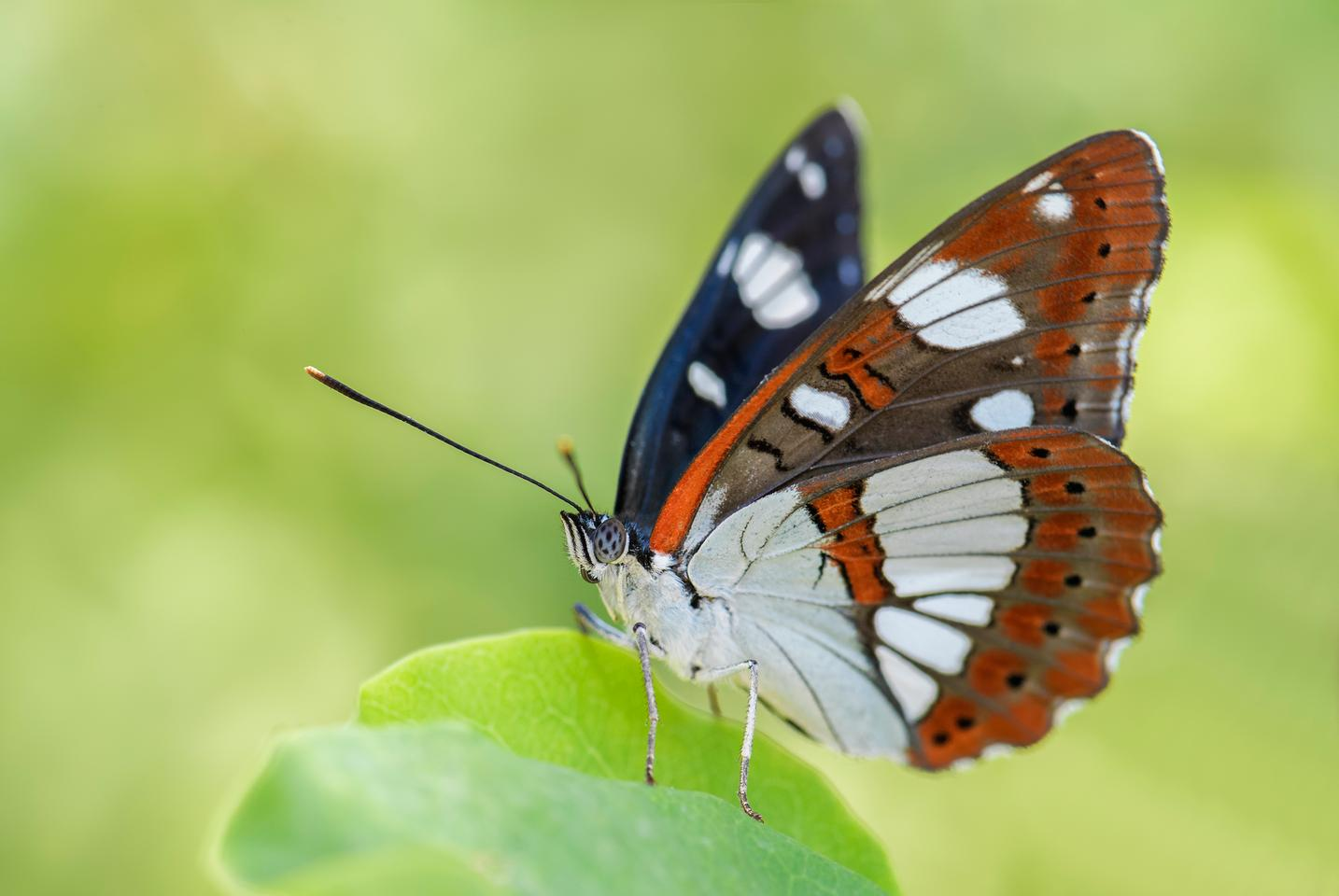 A new study of butterflies in flight has revealed some neat trickery they use to evade predators