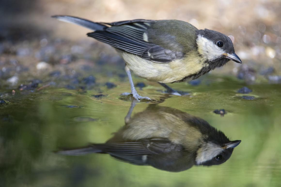 The great tit (Parus major) is known to adapt reasonably well to normalclimate change