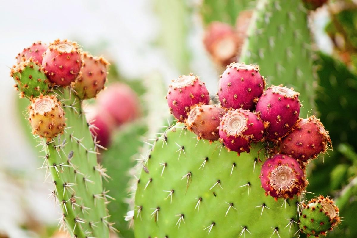 Believed by some to be a hangover cure, prickly pear extract may soon play a more significant role in helping Alzheimer's and Parkinson's patients as well